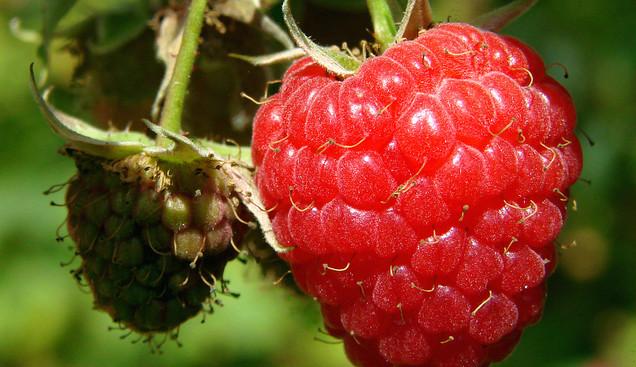 Какие болезни и вредители повреждают ягоды малины