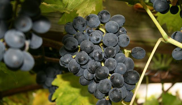Как ухаживать за сортом винограда Виерул59