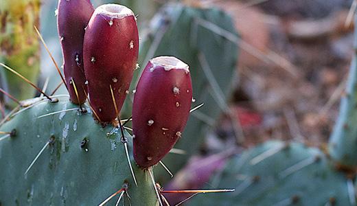 Польза кактусового варенья