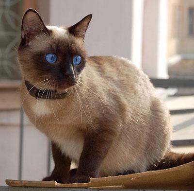 Сиамская кошка фото характер уход