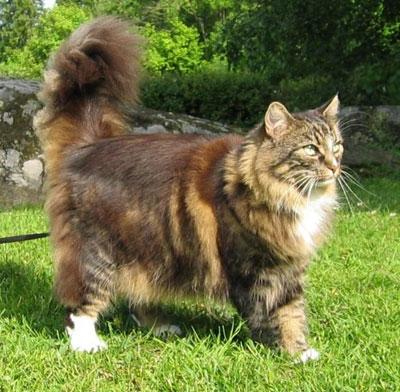 Норвежская лесная кошка, фото, характер, уход, болезни