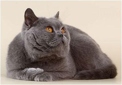Британская короткошерстная кошка, фото, характер, уход, болезни