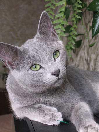 Русская голубая кошка: фото, характер, уход, болезни