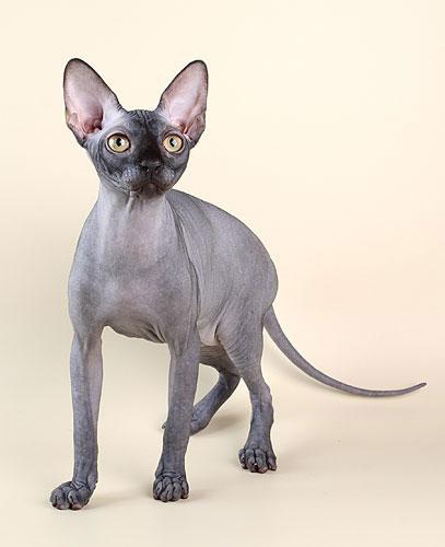 Порода кошки - сфинкс, фото, характер, уход, болезни