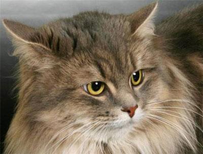 Сибирская кошка, фото, характер, уход, болезни