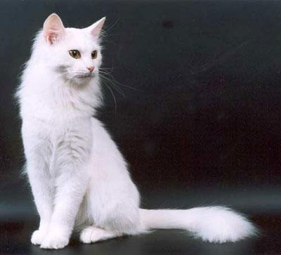 Порода кошки - турецкая ангора, фото, характер, уход, болезни