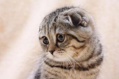 Порода кошек - шотландская вислоухая, фото, характер, уход, болезни