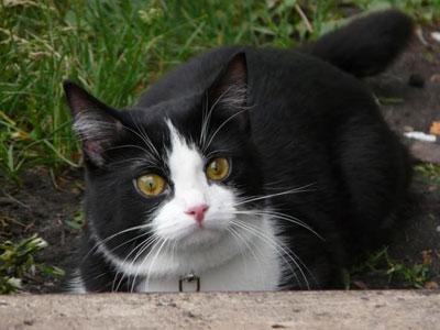 Беспородная домашняя кошка, фото, характер, уход, болезни