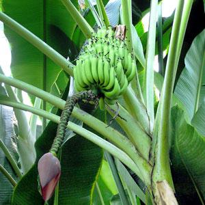 Как вырастить банан из косточки