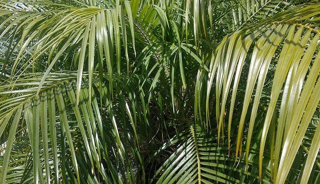 Виды пальм и их выращивание