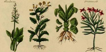 Какие растения использовать при ушибах, ожогах