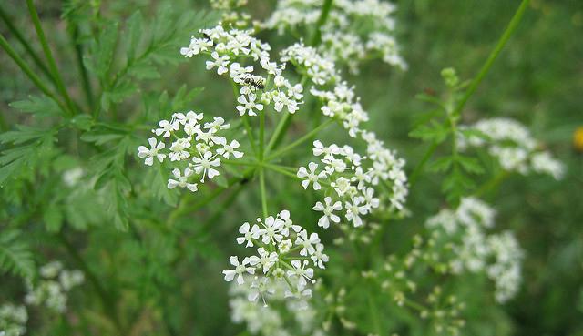 Лечебные свойства травы болиголова