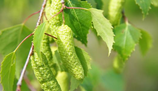 Полезные свойства листьев березы
