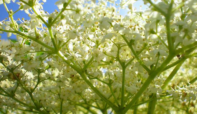 Свойства цветков бузины