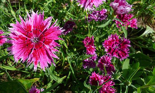 Гвоздики цветы к чему снятся