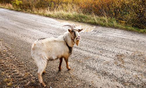 Сон белый козел сонник