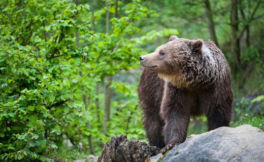 к чему снятся медведи во сне