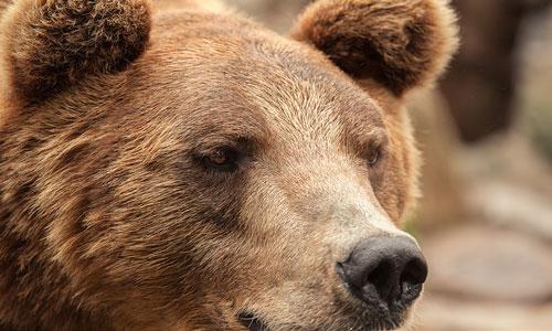 Значит что медведь когда снится тебе