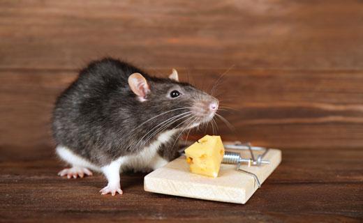 когда снятся мыши