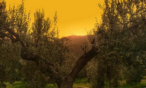 сонник оливковое дерево