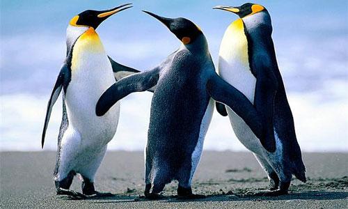 Фото К чему снится пингвин женщине