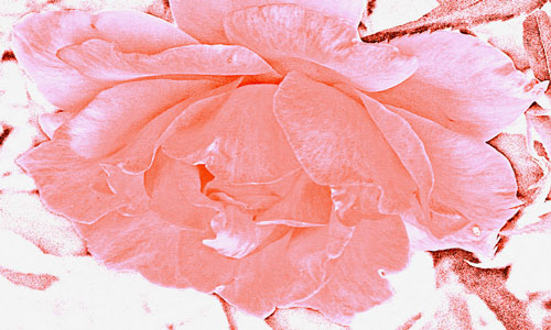 роза в соннике