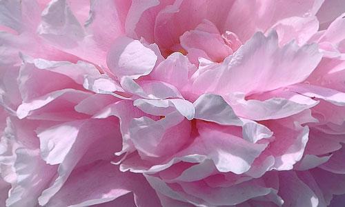 сонник розовый