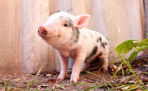 к чему снится свинья во сне